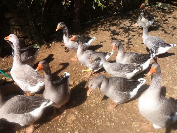 Gastronomie - Canards et oies